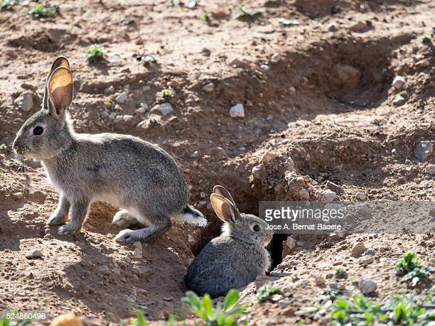 Two babies of field rabbit going out of his burrow, ( Species Oryctolagus cuniculus.)