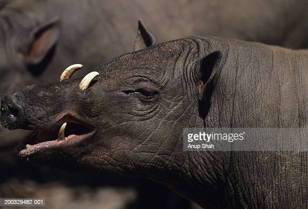 two babirusas (babyrousa babyrussa) standing side by side, asia, close-up - pig nose stock pictures, royalty-free photos & images