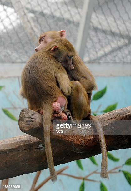 Two Baboon monkeys cuddle at Zhengzhou Zoo on February 14 2012 in Zhengzhou Henan Province of China Preparations for Valentine's Day begin around...