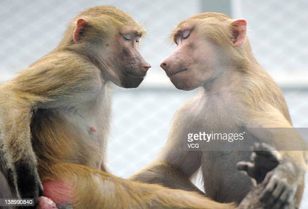 Two Baboon monkeys rest at Zhengzhou Zoo on February 14 2012 in Zhengzhou Henan Province of China Preparations for Valentine's Day begin around China...