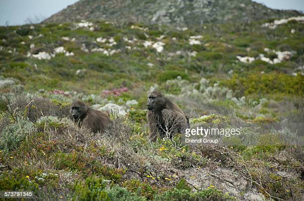 two baboons on the cape peninsula. - chacma baboon stock photos and pictures