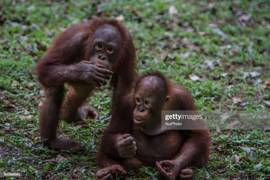 Two baby Borneo Orangutan seen playing in Jakarta, Indonesia on January 03, 2018. The Sumatran Orangutan Conservation Programme (SOCP) is working hard to build an Orangutan Haven in North Sumatra to accommodate disabled orangutans and orangutans that cannot be released to their natural habitat. Beginning construction four years ago with a US$2 million budget, the 48-hectare facility in Sibolangit, Deli Serdang regency, is expected to be ready by early 2019 to give long-term protection and provide improved living conditions for the disabled and unreleasable arboreal mammals. Five orangutans, including a female, will be placed in the facility by the end of 2018,, which will be open for public visits. The ve could not be released to their natural habitat as they no longer have the ability to survive in the wild, posing a risk to themselves as well as other populations. Nine artificial islands measuring between 600 and 800 square meters are being prepared by the SOCP in the Orangutan Haven, which is the first such facility in the world.