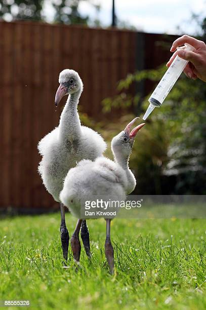 Two baby Flamingos take their first steps at London Zoo on June 18 2009 in London England The onemonthold pair of birds called Little and Large were...