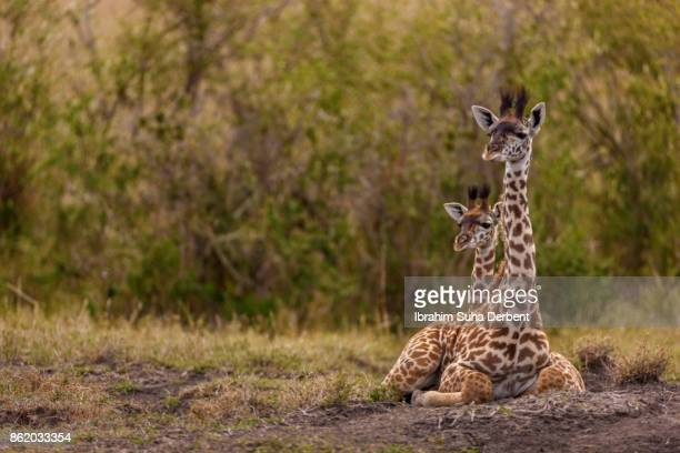 Two baby giraffes are sitting and looking to camera