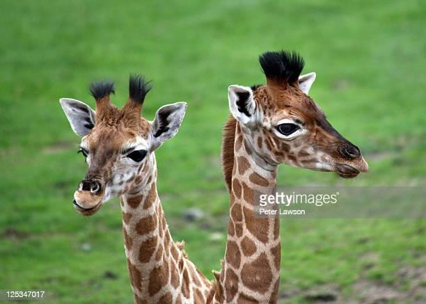 Two baby Giraffes
