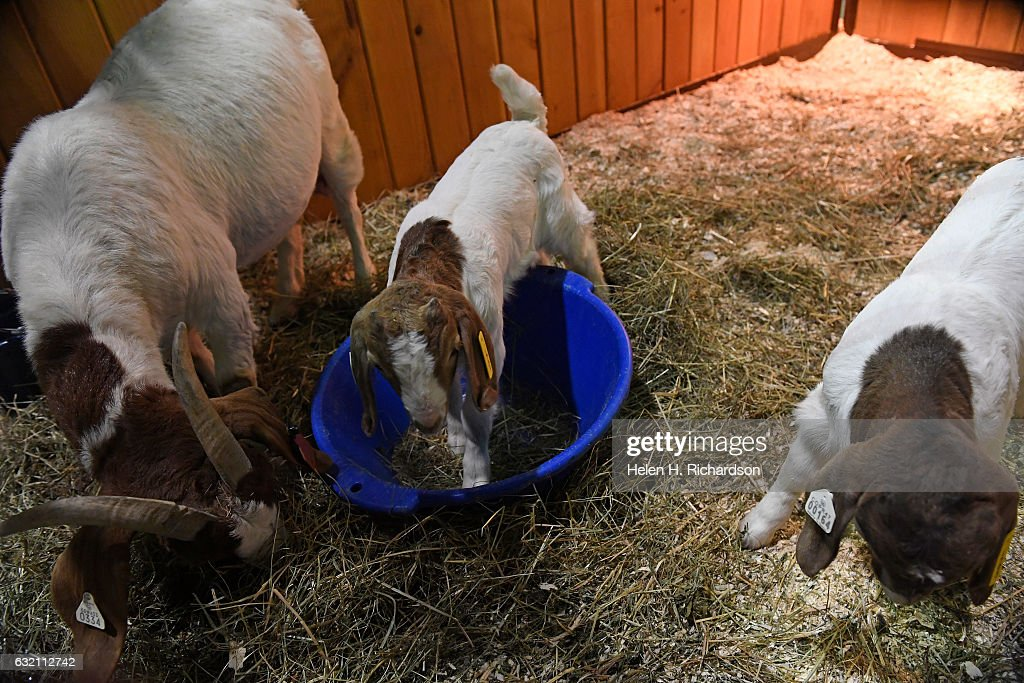 Baby animals on display at the National Western Stock Show in Denver, Colorado : News Photo