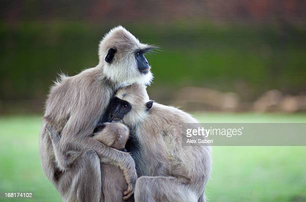 two baby hanuman langurs suckling on their mother. - alex saberi stock pictures, royalty-free photos & images