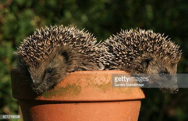 Two baby hedgehogs.