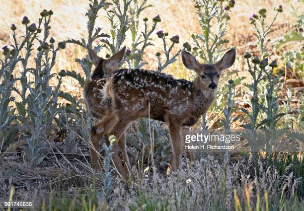 Two baby Mule deer fawns hide out in the shade near the spike camp for firefighters of the Spring Creek Fire on July 4 2018 in La Veta Colorado The...