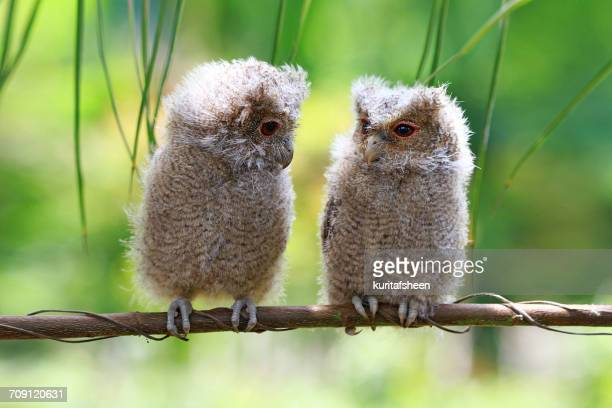 Two baby owls on a branch, Indonesia