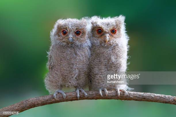 Two baby owls sitting on a branch, Indonesia