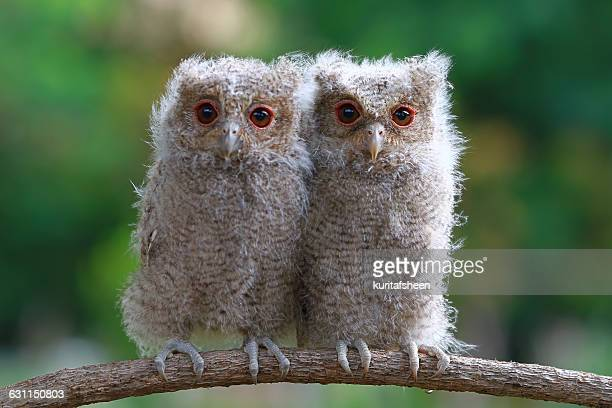 Two baby owls sitting on branch, Indonesia