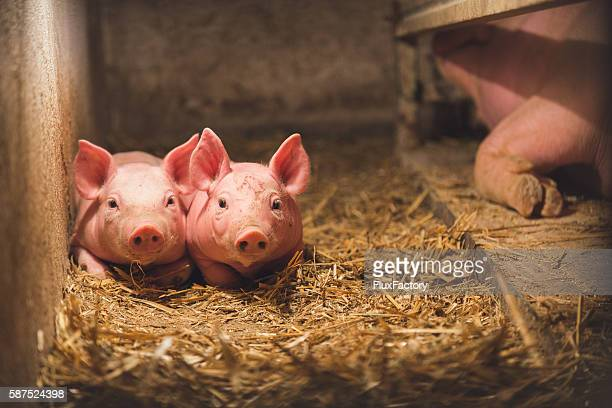 Two baby pigs, laying in the hay by her mother