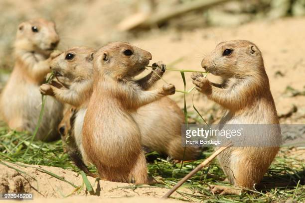 two baby prairie dogs sharing food - prairie dog stock pictures, royalty-free photos & images