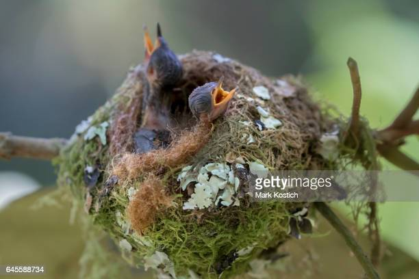 Two Baby Purple-Throated Mountain Gem Hummingbirds in Nest