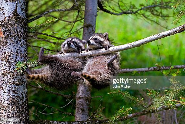Two Baby Raccoons Swinging from Tree Branch