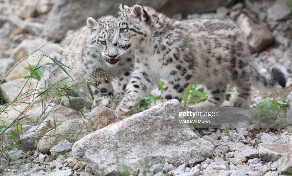 Two baby snow leopards walk through their enclosure at the