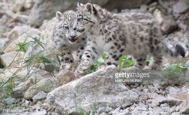 Two baby snow leopards walk through their enclosure at the Wilhelma zoo in Stuttgart southern Germany on August 13 2019 The animals were born at the...