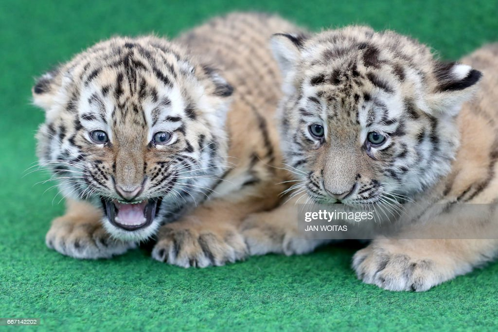 Two baby tigers are pictured before being vaccinated at the zoo in Leipzig, eastern Germany, on April 11, 2017. The zoo actually is seeking for names for the six-weeks-old twin tigers. / AFP PHOTO / dpa / Jan Woitas / Germany OUT