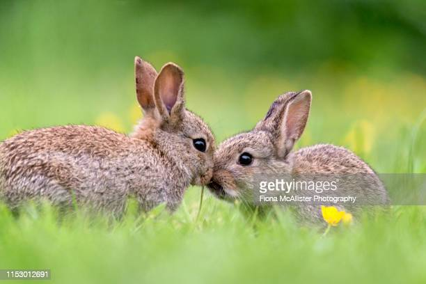 two baby wild rabbits kissing - rabbit stock pictures, royalty-free photos & images