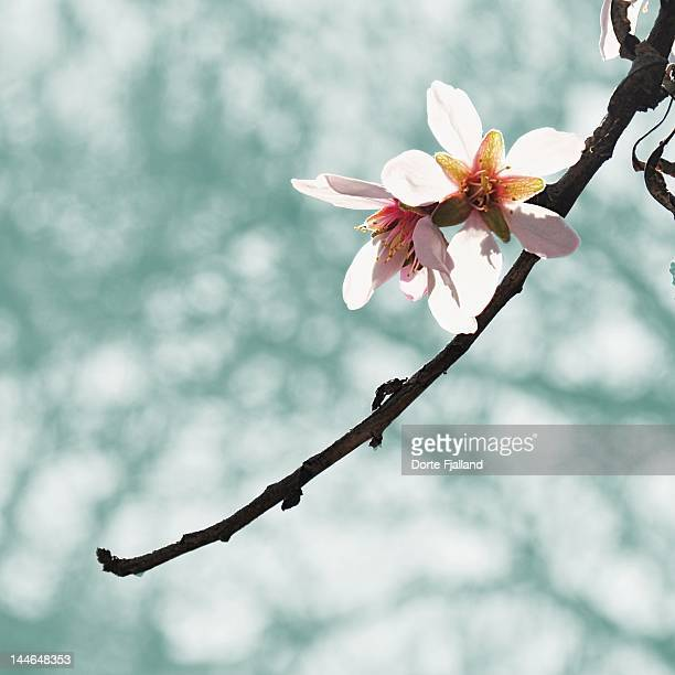 two backlit almond blossoms on branch - dorte fjalland stock pictures, royalty-free photos & images