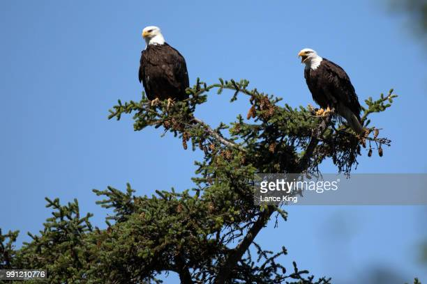 Two bald eagles sit on tree limbs on July 3 2018 in Seward Alaska The Mount Marathon Race is held every year on July 4th and the approximate race...