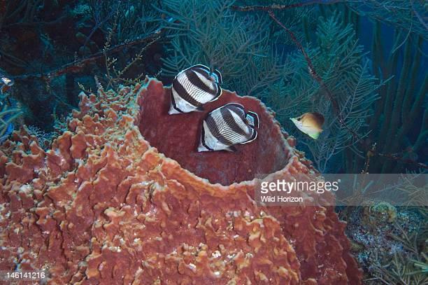 Two banded butterflyfish in giant barrel sponge joined by single longsnout butterflyfish Chaetodon chaetodon striatus Chaetodon chaetodon aculeatus...