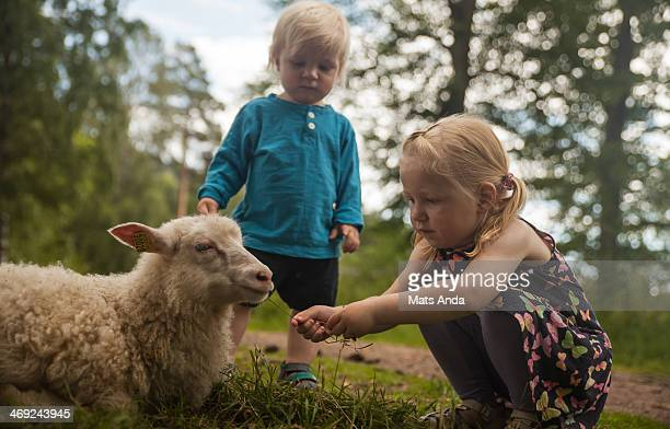 two bandits and a girl.. - livestock stock pictures, royalty-free photos & images