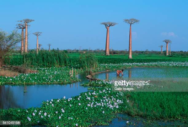 Two Baobab Trees in Rice Fields
