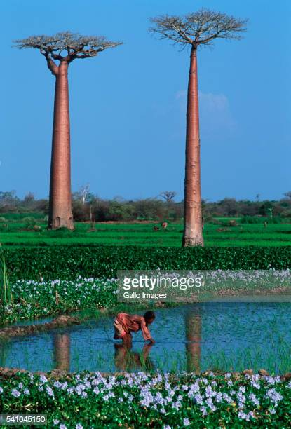 Two Baobab Trees in Rice Fields with Worker