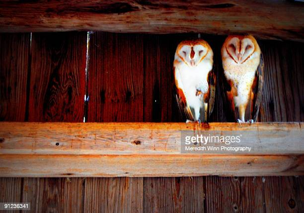 two barn owls sitting on a wood beam of a barn - barn owl stock pictures, royalty-free photos & images