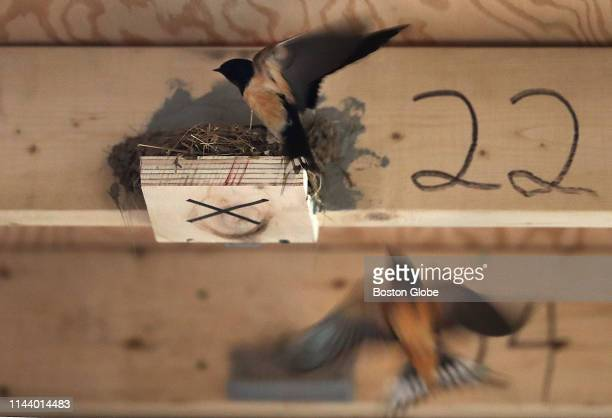 Two barn swallows fly near a seed nest close to the ceiling inside a room adjacent to the stable where the birds currently nest at the Silvio O Conte...