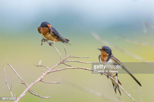 two barn swallows in a bush - barn swallow stock pictures, royalty-free photos & images