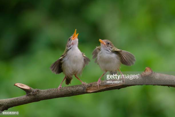 Two Bar-winged prinia birds on a branch, Banten, Indonesia