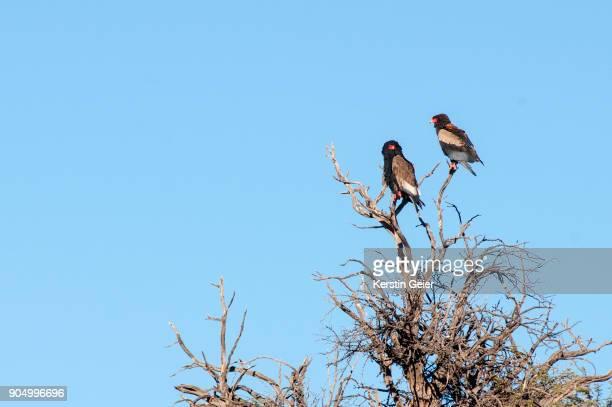 two bateleur eagles (terathopius ecaudatus) perched. kgalagadi transfrontier park, south africa - bateleur eagle stock pictures, royalty-free photos & images