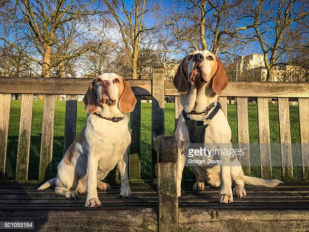 Two Beagle Dogs in the City of London