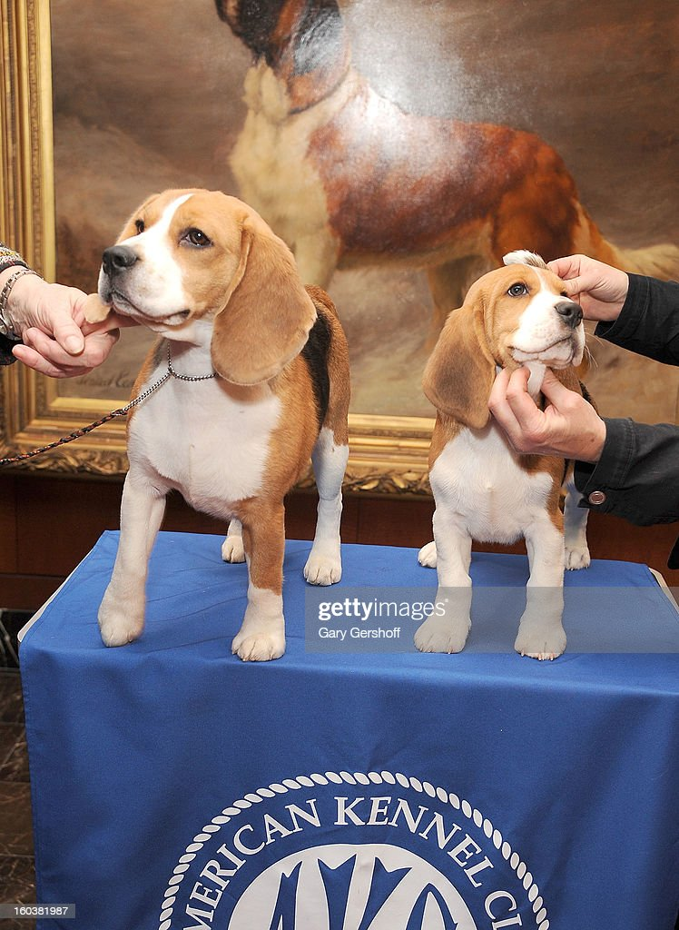 Two Beagles, Max (L) and Shiloh pose for pictures as the American Kennel Club Announces Most Popular Dogs in the U.S. on January 30, 2013 in New York City.