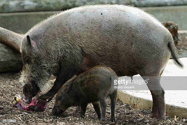 Two bearded pigs are seen at London Zoo on August 5 2003 Regents Park London