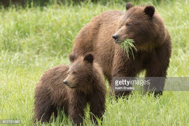 two bears eating grass - grizzly bear stock photos and pictures