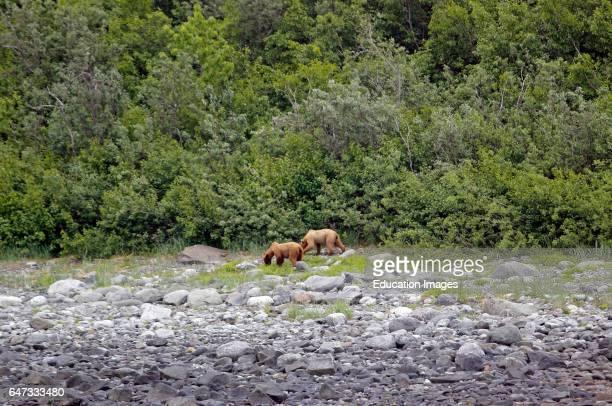 Two bears foraging Glacier Bay Inside Passage Southeast Alaska USA