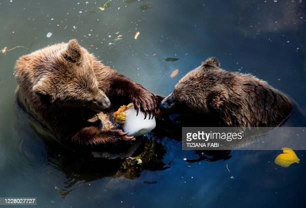 Two bears lick a block of ice with fruits to cool off in their enclosure at the Bioparco zoo during a heatwave in Rome, on August 13, 2020.