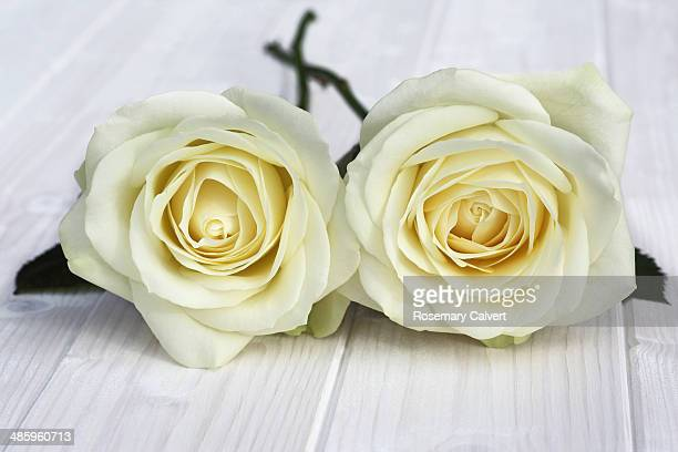 two beautiful cream roses with linked stems - off white stock pictures, royalty-free photos & images