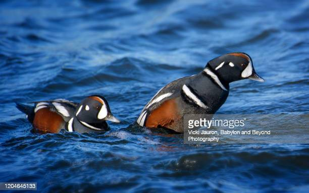 two beautiful harlequin ducks in bright blue water at jones beach, long island - harlequins stock pictures, royalty-free photos & images