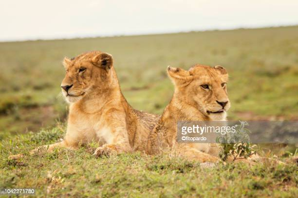 two beautiful lion cubs watching - arusha national park stock photos and pictures