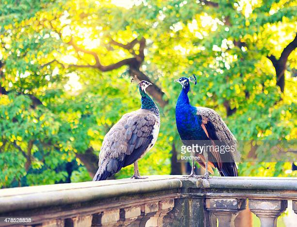two beautiful peacocks in palace garden - female animal stock pictures, royalty-free photos & images