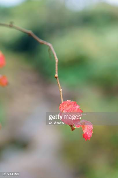 Two beautiful red leaf