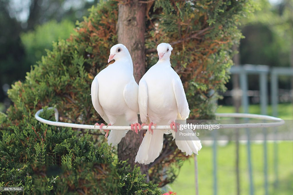 Two Beautiful White Dove Symbol Of Peace And Love Stock Photo