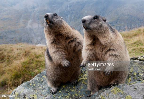 two beavers on a rock. - beaver stock pictures, royalty-free photos & images
