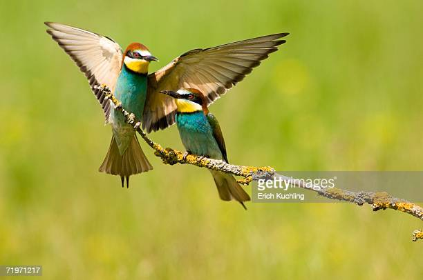 Two bee-eaters sitting on branch, close-up