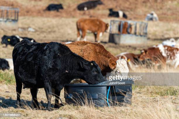 two beef cows drinking water - johnfscott stock pictures, royalty-free photos & images